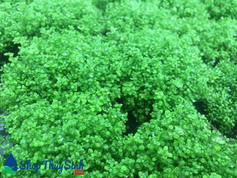 Gợi ý 4 loại cây thủy sinh trải nền dễ trồng tuyệt đẹp trong hồ thủy sinh