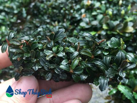 Cây thủy sinh Bucep bucephalandra mini lá cạn