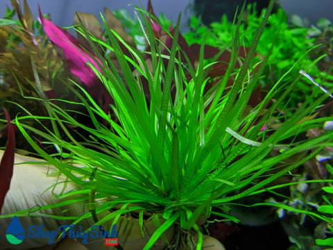 Cây thủy sinh cỏ Nhật vị trí trồng trung cảnh