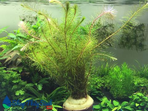 Cây thủy sinh Luân Thảo Đỏ vị trí trồng hậu cảnh và trung cảnh