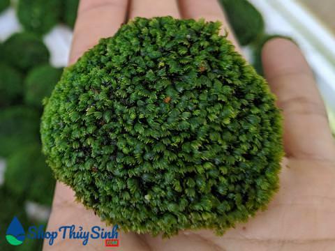 Cây thủy sinh Rêu Mini fiss bám đá