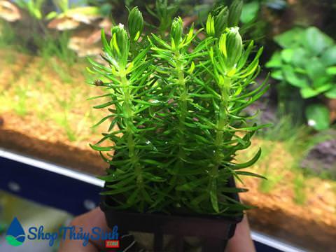 Cây thủy sinh Thông Lá Kim dòng cây thủy sinh dễ trồng