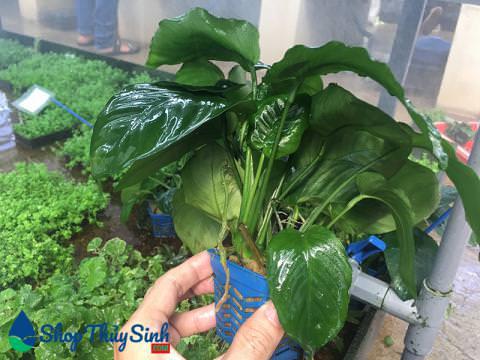Cây thủy sinh Trầu Bà lá Đại vị trí trồng trung cảnh