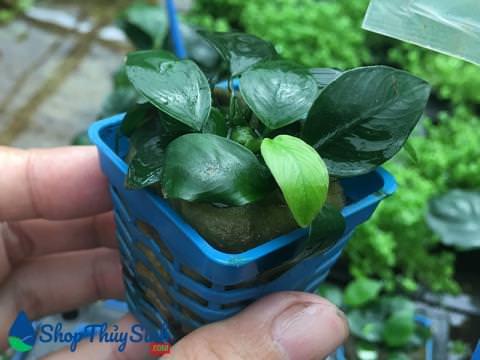 Cây thủy sinh Trầu Bà nana dễ trồng