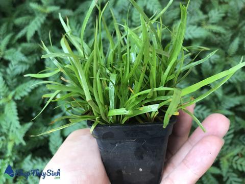 Cây thủy sinh cỏ bắp mỹ vị trí trồng trung cảnh