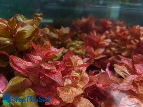 Hồng Hồ Điệp loại cây thủy sinh mang sắc thái mê hoặc