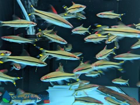 Hồng Mi Ấn Độ dòng cá cảnh thủy sinh bơi theo đàn tuyệt đẹp