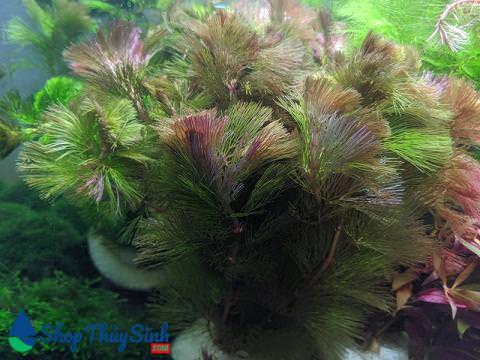 La Hán Đỏ dòng cây thủy sinh cắt cắm dễ trồng