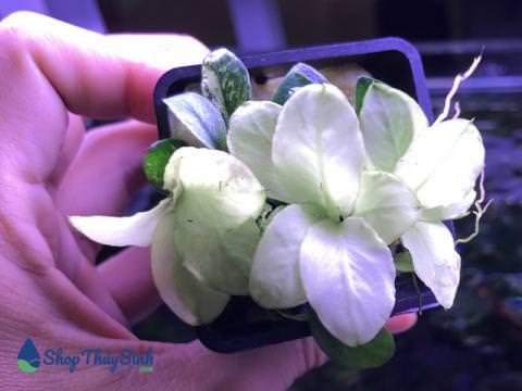 Ráy nana white dòng cây thủy sinh cao cấp dễ trồng
