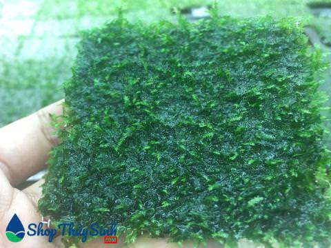 Rêu mini Taiwan dùng trang trí lũa thủy sinh