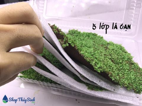 Rêu mini Fiss loại rêu đẹp nhất khi được trồng bám trên đá