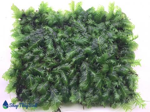 Rêu Phượng Vỹ Đài loài rêu thủy sinh có vẻ đẹp mỹ miều