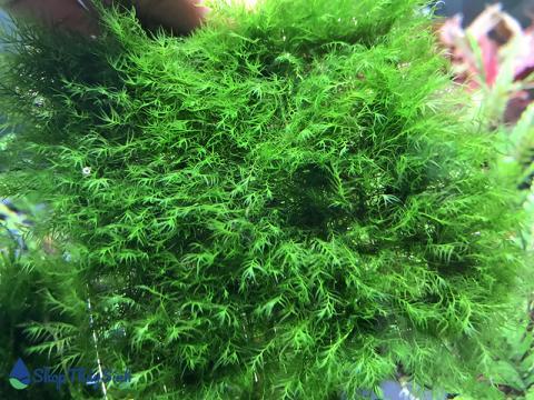 Rêu us fiss tuyệt đẹp có tên tiếng anh Phoenix Moss