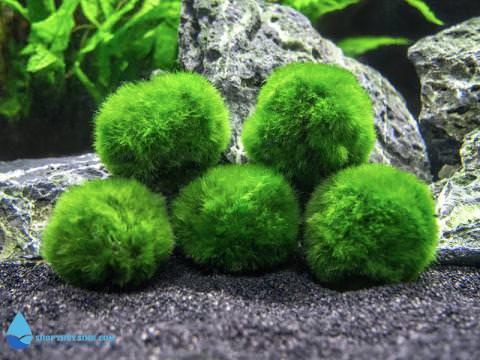 Tảo cầu rêu Nhật Bản Marimo Moss Ball