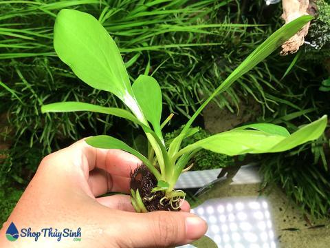 Thanh Đản dòng cây thủy sinh dễ trồng không cần co2