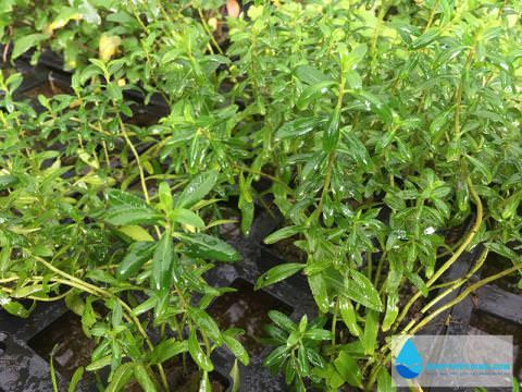 Tìm hiểu về một số loại cây thủy sinh dễ trồng không cần co2