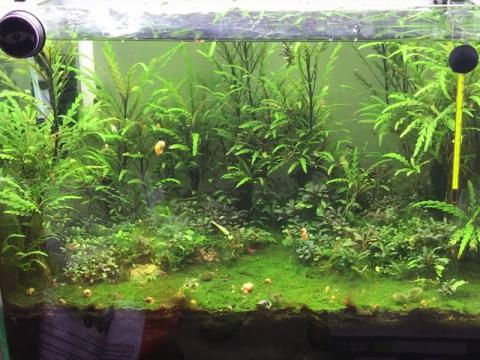 Tổng hợp các loại cây thủy sinh không cần đất nền dễ trồng