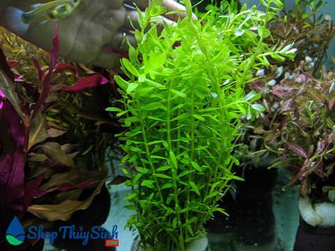 Vảy ốc lá xanh dòng cây thủy sinh cắt cắm dễ trồng